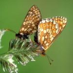Euphydryas aurinia-Scheckenfalter-1986-Paul HAAN