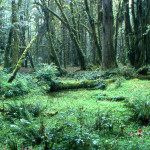 Quinault Rain Forest02-Olympic N.P.WA-SEP1997-Paul HAAN