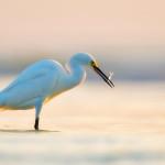 Platz 1 : Snowy-Egret